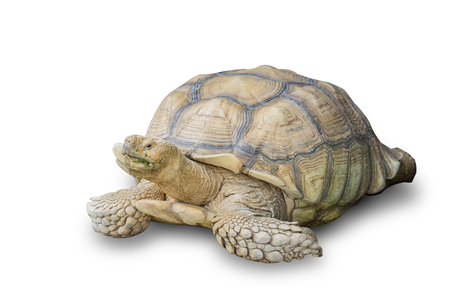 Sulcata Tortoise isolated on white background. Africa spurred tortoise yawning. File contains a clipping path.