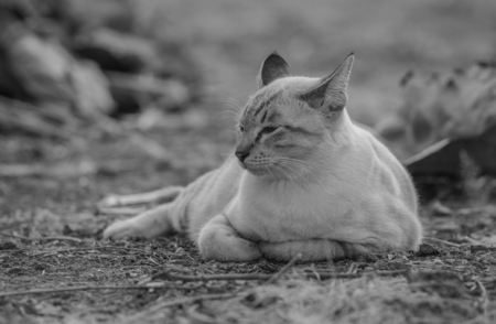 lurk: black and white portrait of cat Thailand on the ground