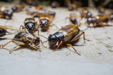 animal feed: close up of Crickets in farm, For consumption as food And used as animal feed.