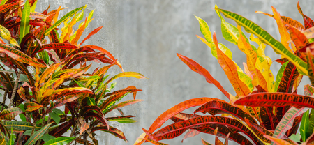 abandon: colorful close up colorful croton plants leaf and gray cement wall background