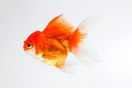 gill: goldfish isolated on white background.