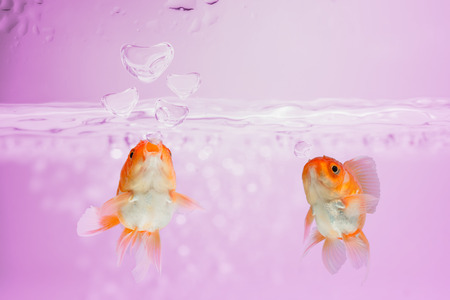 fish tank: love concept, Goldfish blew bubbles into heart shapes in pink water.
