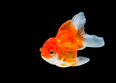 goldfish isolated on black background.