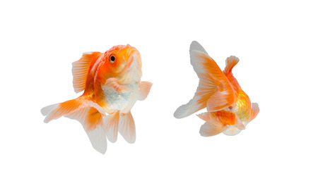 fish tank: goldfish isolated on white background. File contains a clipping path. Stock Photo