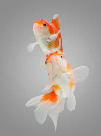 gill: Close up two goldfish jumping on a gray background. Stock Photo