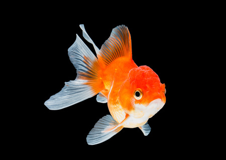 gill: goldfish isolated on black background.