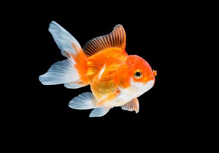 fish tank: goldfish isolated on black background.