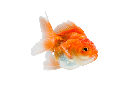 goldfish isolated on white background. File contains a clipping path. Stock Photo
