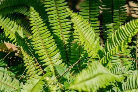 Close-up groene boston varen achtergrond