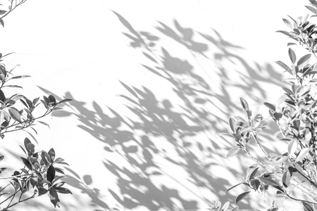 abstract background of shadows leaf on a white wall. White and Black