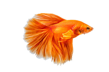 betta: Orange fighting fish isolated on white background, siamese fighting fish, Betta fish. File contains a clipping path.