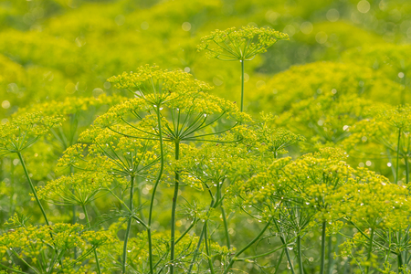 Close up yellow flowers of dill in vegetable garden