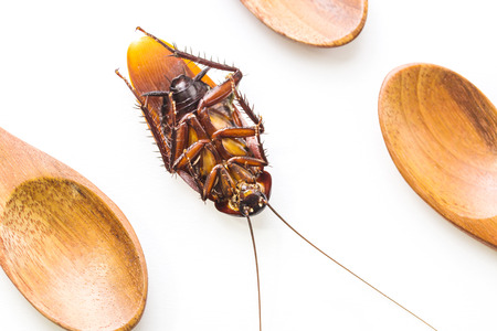 cockroach dead and wooden spoon on white background. top view