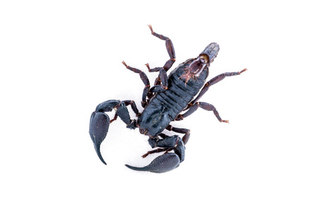 top view, scorpion on white background. Giant forest scorpion species found in tropical and subtropical areas in Asia.