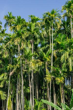 green Betel palm tree on blue sky background Stock Photo
