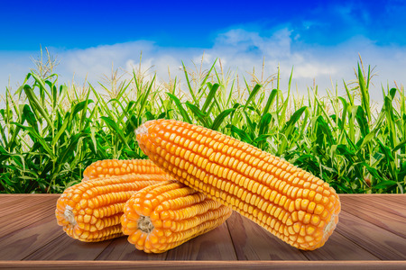 Dry corn isolated on brown wooden floor with corn field background Stock Photo