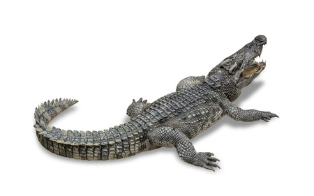 freshwater crocodile isolated on white background. File contains a clipping path. Stock Photo