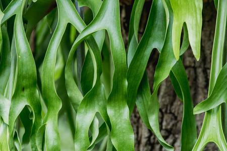 staghorn fern: staghorn Fern. Platycerium holttumii Joncheere & Hennipman. POLYPODIACEAE