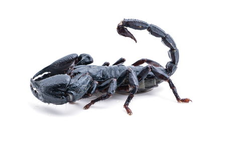 living organism: top view, scorpion on white background. Giant forest scorpion species found in tropical and subtropical areas in Asia.