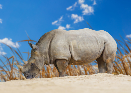 rhinoceros standing on the sand with blue sky background.