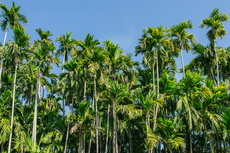 green Betel palm tree on blue sky background Фото со стока