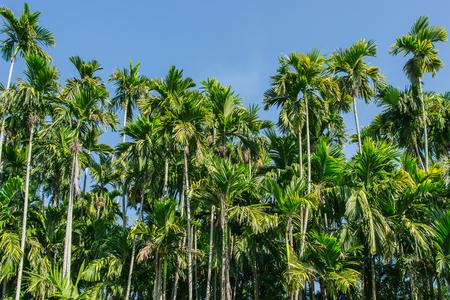 green Betel palm tree on blue sky background Archivio Fotografico