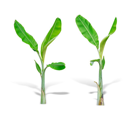young two banana tree isolated on white background. File contains a clipping path. Stock Photo