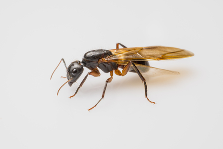 close up flying ant isolated on white background. Winged Carpenter ant Stock fotó