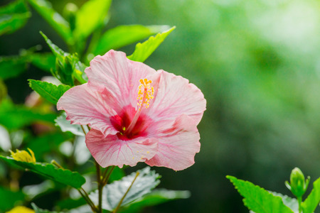 Pink Hibiscus Rosa-sinensis flower or China rose Stock Photo