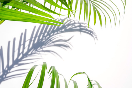 green palm leaf and shadow on a white background
