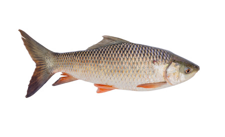 freshwater fish isolated on white background, File contains a clipping path. (Probarbus jullieni) Stock Photo