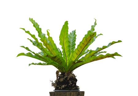 Bird's nest fern (Asplenium nidus) on dry wood isolated on white background, File contains a clipping path.