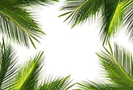 natürlicher Rahmen des grünen Kokosnusspalmblattes auf weißem Hintergrund und Text kopieren Raum. Verwenden des Ideendesignhintergrundes oder -tapeten.