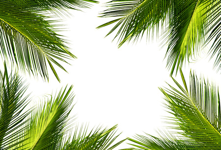 natural frame of green coconut palm leaf on white background and text copy space. Using idea design background or wallpaper.