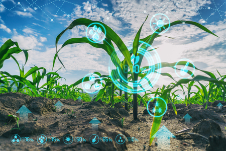 Growing young maize seedling in cultivated agricultural farm field with modern technology concepts Stock fotó - 94507402