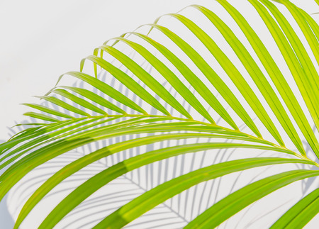 palm leaves and shadows on a white wall background Stock Photo