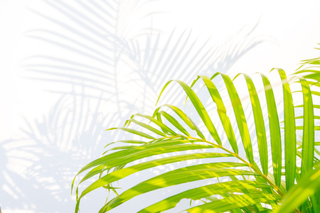 palm leaves and shadows on a white wall background.
