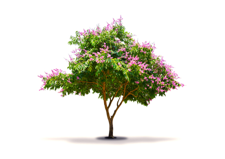 The tree which has purple-pink flower isolated on white background. Lagerstroemia speciosa, Pride of India