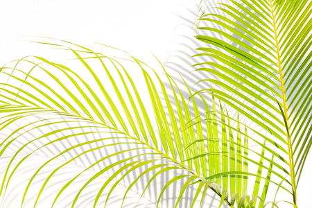 close up green palm leaves and shadows on a white wall background.