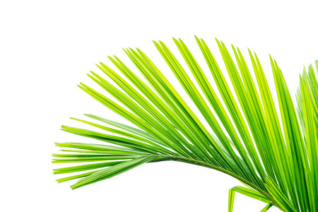 green palm leaf isolated on a white background