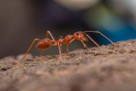 red ant in nature, macro shot, ants are an animal working teamwork Imagens