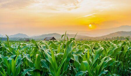 Campo de maíz verde en el jardín agrícola y la luz brilla al atardecer Foto de archivo