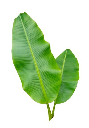Banana leaf Wet isolated on white background.