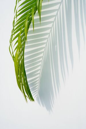 shadows palm leaf and green leaves on white wall background. for creative design summer concept Stockfoto