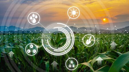 agriculture digital farm cornfield technology concepts with growing maize in the cultivated field and light shines sunset