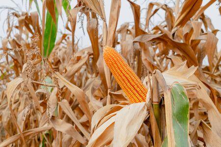yellow dry ripe corn on stems in agricultural garden, Corn harvest season Stockfoto