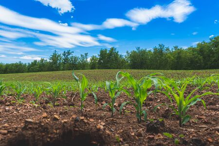 Growing maize seedling in the agricultural corn field with blue sky in a day. Stockfoto