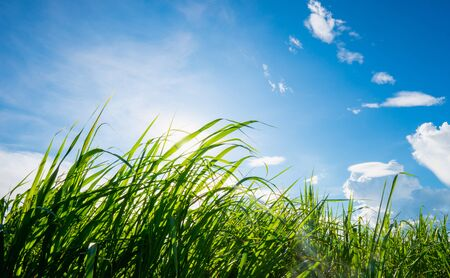 tall green grass over blue sky with clouds and sun shines bright in the day