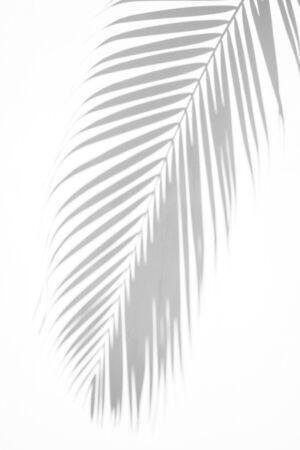 abstract background of shadows palm leaves on a white wall. White and Black, use design for advertising or banner web and printing