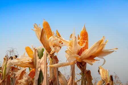 close up of yellow dry ripe corn on the field in the day with blue sky Stock fotó